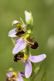 Bee Orchid - Ophrys apifera - stem with three flowers Stock Photo