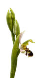 Bee Orchid profile isolated - Ophrys apifera Stock Images