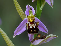 Bee Orchid stock image