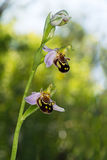 Bee orchid wild flower. Ophrys apifera. Stock Photos