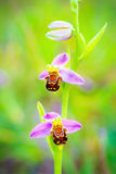 Bee Orchid Wildlife Stock Image