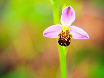 Bee Orchid Wildlife Stock Images