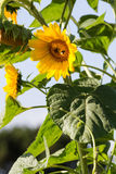 Bee on organic sunflowers with natural daylight Stock Photos