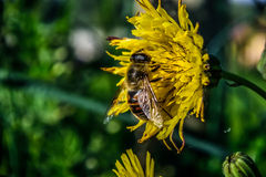 Bee over flower Royalty Free Stock Photography