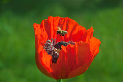 Bee over poppy flower Royalty Free Stock Images