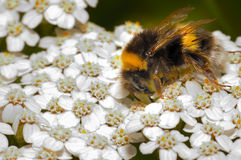 Bee over white flowers Stock Images