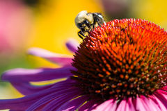Bee overhead. Bee on a cone flower Stock Images