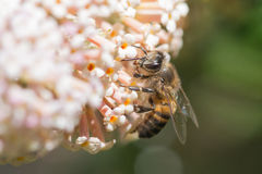 Bee on pale compound flower Royalty Free Stock Images