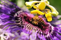 Bee on passiflora Stock Image