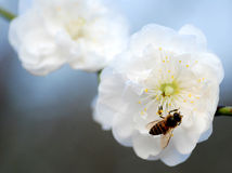 A Bee on the peach flower Stock Photography