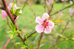 Bee on peach flower. Beekeeping. Bee collecting pollen on a peach flower. Beekeeping, rural life. Springtime stock image