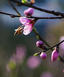 Bee and Peach Flower. Peach flowers blossom in spring and a bee was collecting honey on it in sunshine Stock Photography