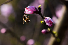 Bee and Peach Flower in sunshine Royalty Free Stock Photos
