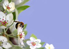 Bee on pear blossom Stock Photos