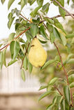 Bee on pear in orchard Stock Images