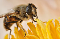 Bee on peony Royalty Free Stock Photography