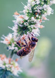 The bee on peppermint. Royalty Free Stock Photos
