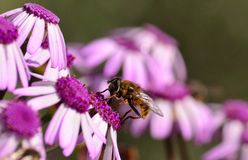 Bee perched on colorful wild flowers pericallis webbii Stock Image