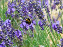 Bee perched on lavender Royalty Free Stock Photo