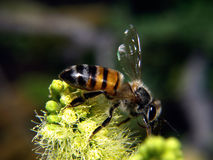 Bee Perched on Plant - Horizontal Royalty Free Stock Photos