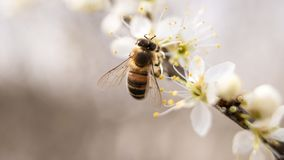 Bee Perched on White Petaled Flower Closeup Photography Stock Image