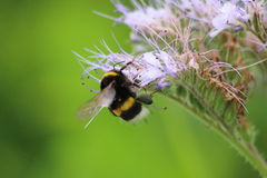 Bee on Phacelia, bee pasture Royalty Free Stock Image