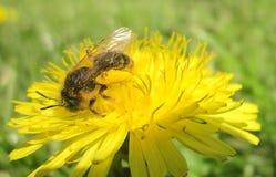 Bee. Photography of bee on dandelion flower Stock Photo