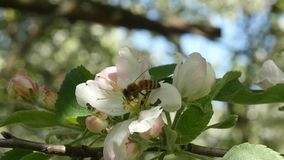 Bee picking nectar from apple-tree flower and fly away slow motion stock footage