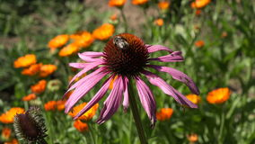 Bee picking pollen from medical coneflower echinacea flower, 4K stock video footage