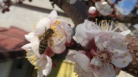Bee picking pollen stock video footage
