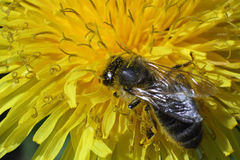 A bee picking up nectar on the dandelion macro photo Stock Photo