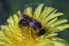 A bee picking up nectar on the dandelion macro photo Stock Image