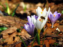 Bee picking up pollen on white crocus vernus flower Stock Images