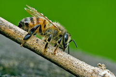 Bee in a piece of wood. Little bee in a piece of wood royalty free stock image