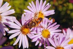 Bee on the pinc flowers of chrysanthemum. stock photo
