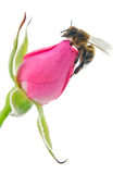 Bee and pink Royalty Free Stock Photos