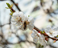 Bee and pink almond flower Close up. Stock Image