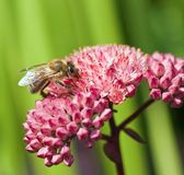 Bee on pink blossom Royalty Free Stock Photo