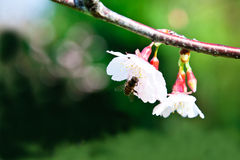 Bee on pink cherry blossom Royalty Free Stock Photography