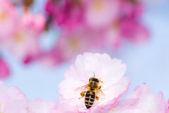Bee at pink cherry blossom Stock Photos