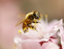 Bee on pink cherry tree flower Royalty Free Stock Images