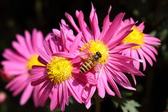 Bee on pink chrysanthemum Stock Images