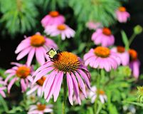 Bee on Pink Cone Flower Stock Photo