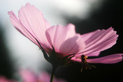 Bee on a pink cosmos flower Stock Images