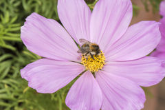 Bee on pink cosmos Stock Photos