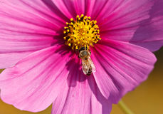 Bee On pink cosmos vivid flower, macro photography Royalty Free Stock Images