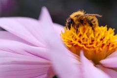 Bee on pink dahlia Royalty Free Stock Images