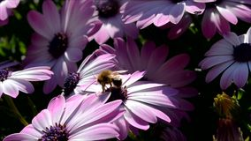 Bee on pink daisies stock video footage