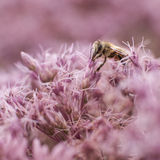 Bee on pink eupatorium maculatum Royalty Free Stock Image