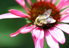 Bee on a pink flower. With green background Stock Photos